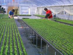 ハバネロ苗栽培風景