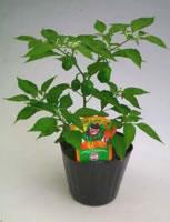 ハバネロ鉢植え(実の付き始め)